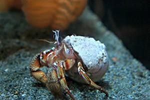 Crab - Hermit